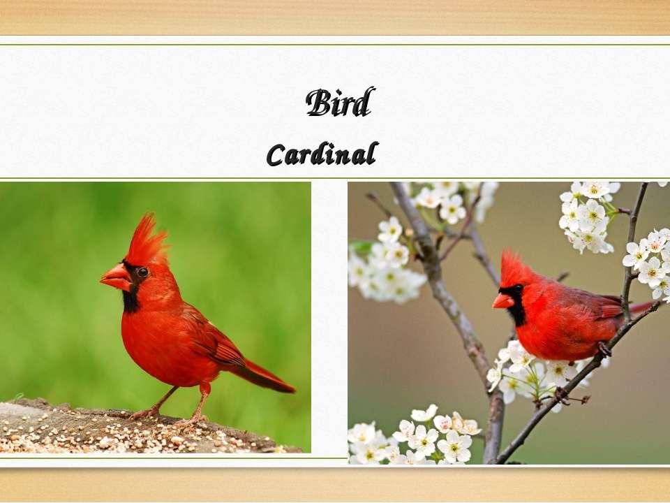 Bird Cardinal
