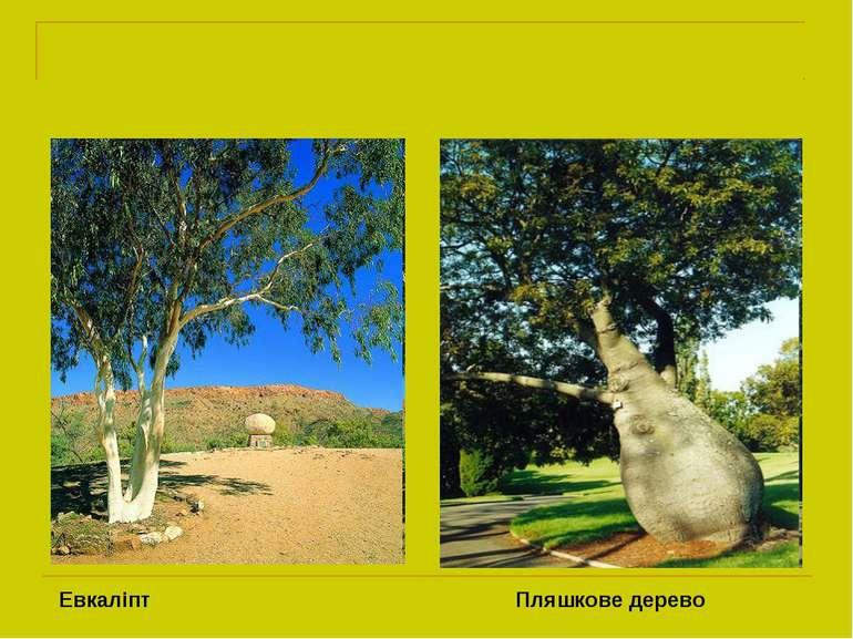 Евкаліпт Пляшкове дерево