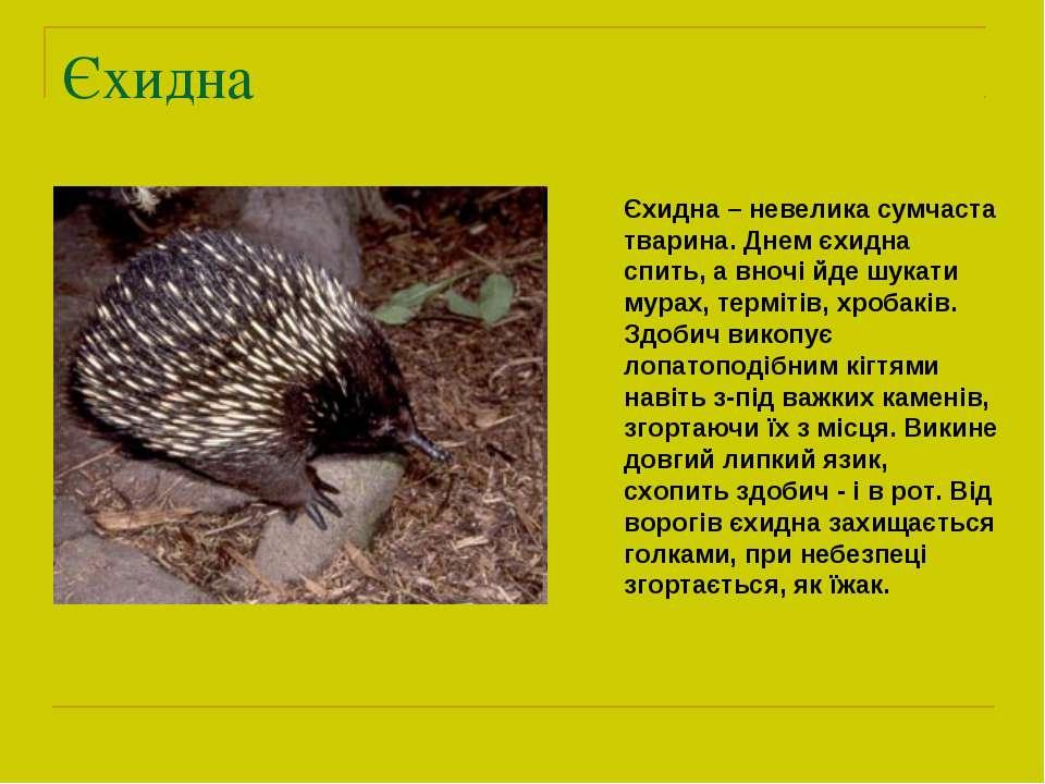 Єхидна Єхидна – невелика сумчаста тварина. Днем єхидна спить, а вночі йде шук...