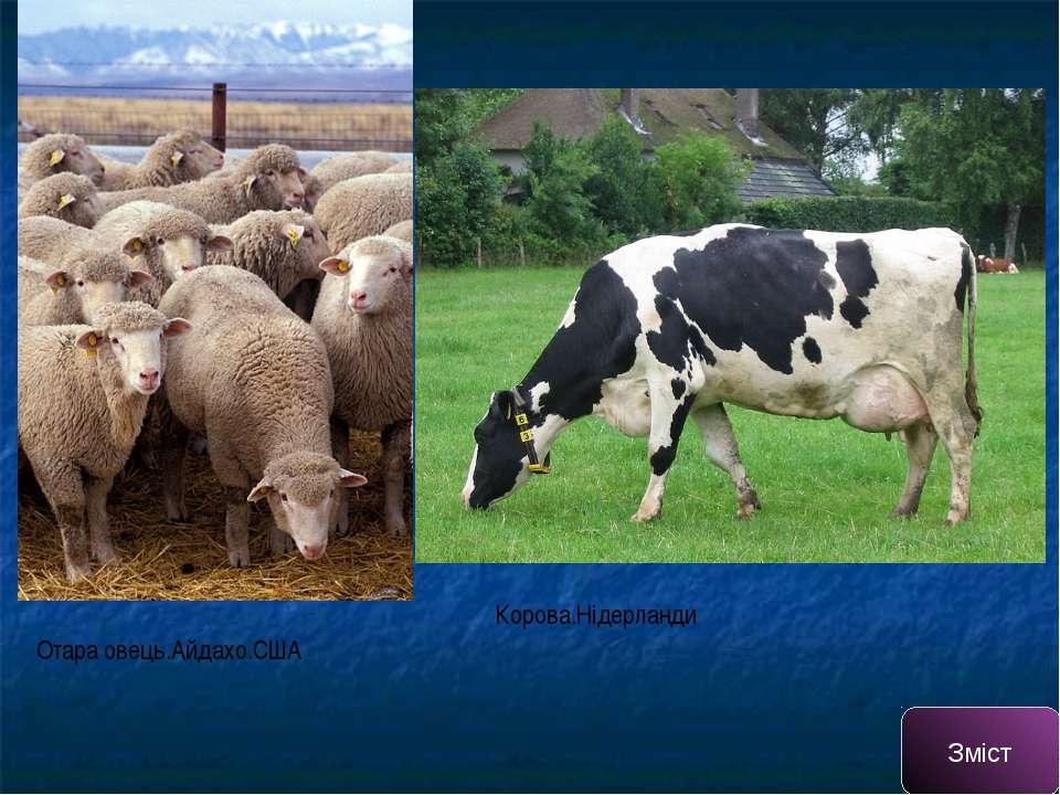 Отара овець.Айдахо.США Корова.Нідерланди Зміст
