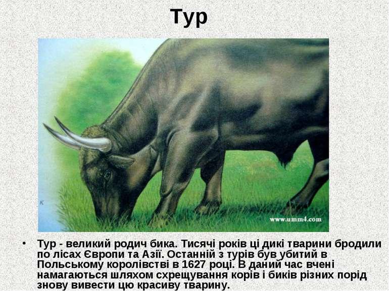 Тур Тур - великий родич бика. Тисячі років ці дикі тварини бродили по лісах Є...
