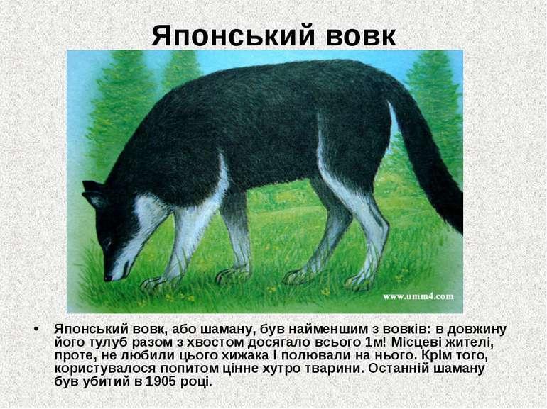 Японський вовк Японський вовк, або шаману, був найменшим з вовків: в довжину ...