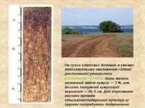 На сухих степових ділянках в умовах недостатнього зволоження і бідної рослинн...