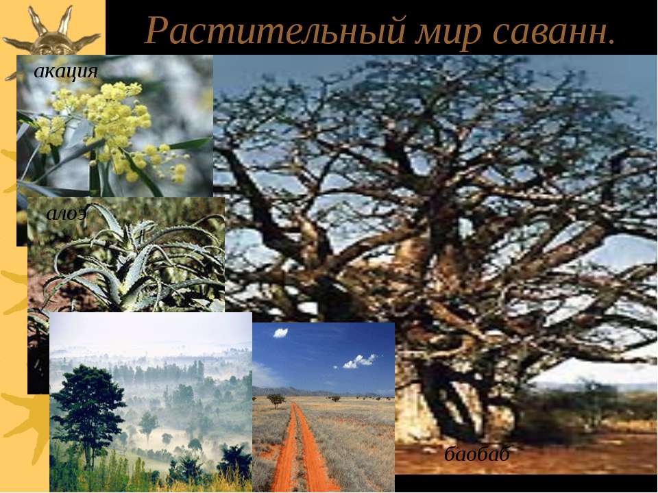 Растительный мир саванн. акация алоэ баобаб