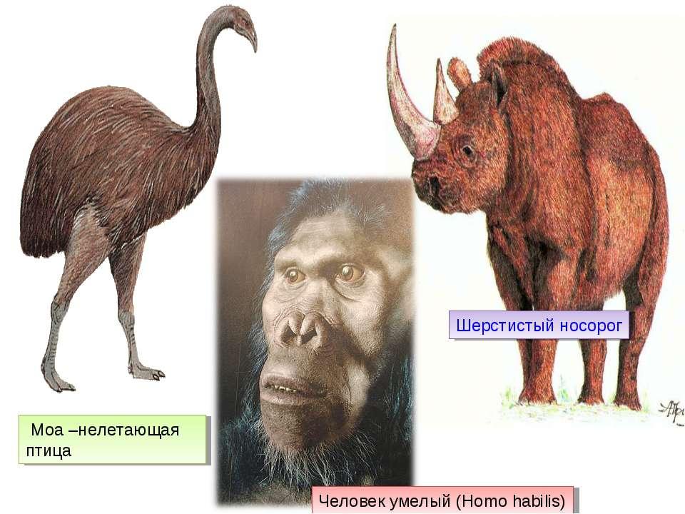 Шерстистый носорог Моа –нелетающая птица Человек умелый (Homo habilis)