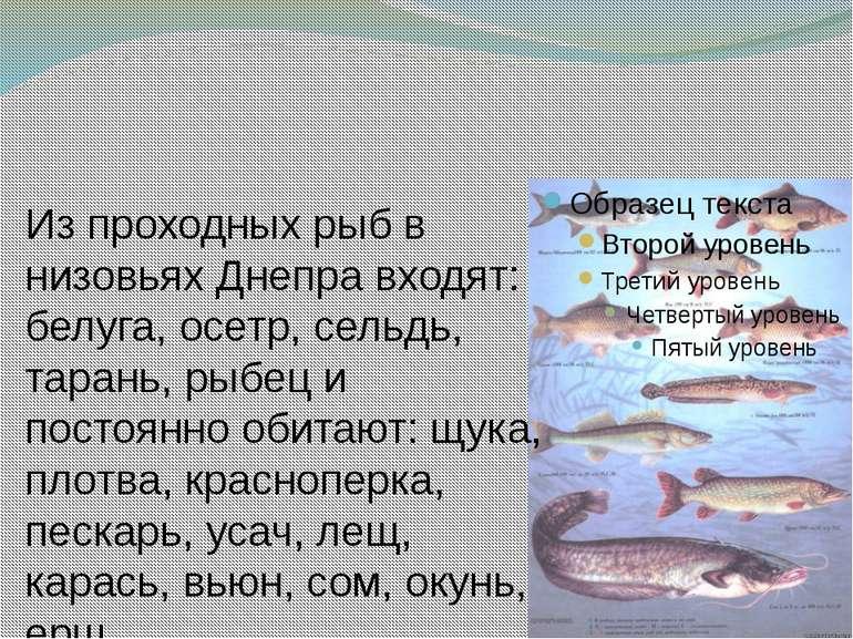 Из проходных рыб в низовьях Днепра входят: белуга, осетр, сельдь, тарань, рыб...