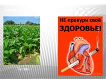"""""""НЕЗВАНИЙ"""" ГІСТЬ З АМЕРИКИ Тютюн"""