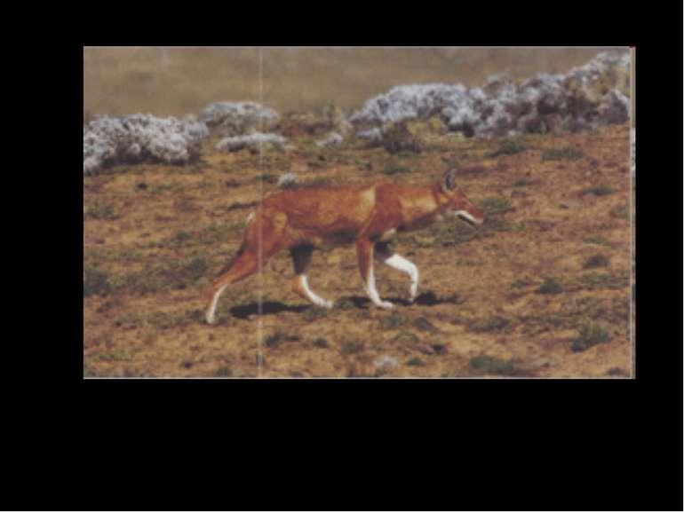 Ефіопський шакал Ефіопський шакал харчується гризунами. Він має добре розвине...