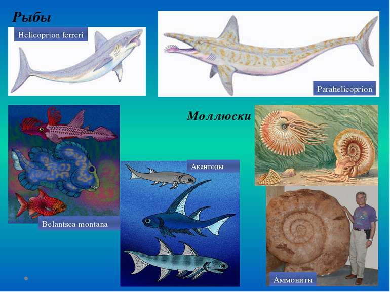 Рыбы Моллюски Helicoprion ferreri Parahelicoprion Belantsea montana Акантоды ...