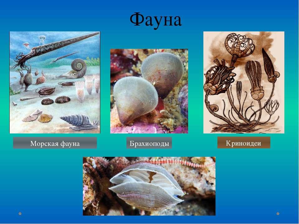 Фауна Криноидеи Брахиоподы Морская фауна