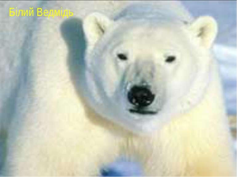 Білий Ведмідь Білий Ведмідь