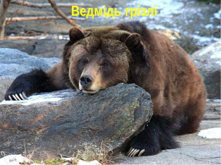 Ведмідь грізлі