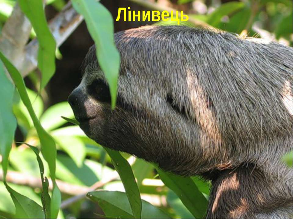 Лінивець