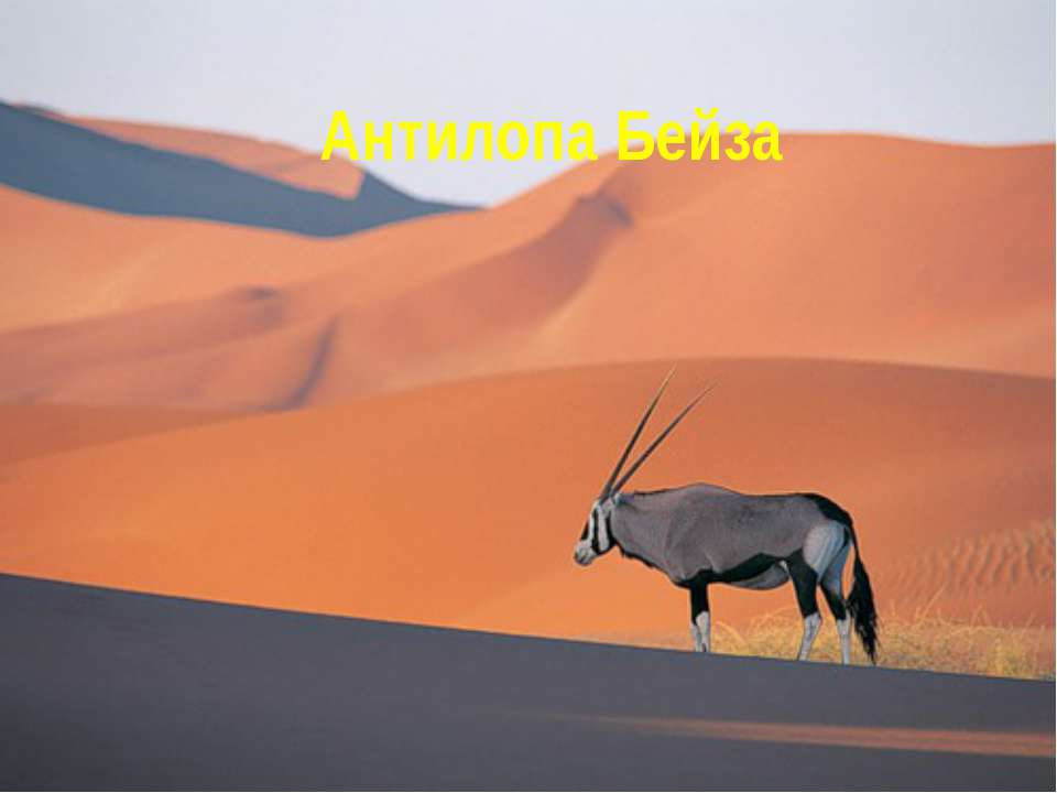 Антилопа Бейза
