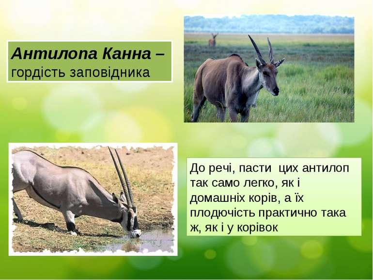 Антилопа Канна – гордість заповідника До речі, пасти цих антилоп так само лег...