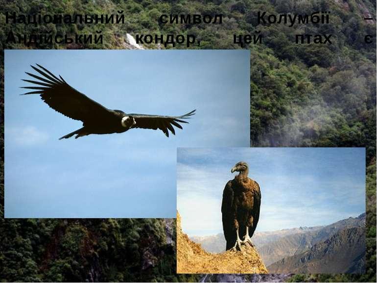 Національний символ Колумбії – Андійський кондор, цей птах є найбільшим у світі.