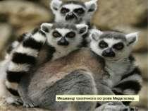 Мешканці тропічного острова Мадагаскар.