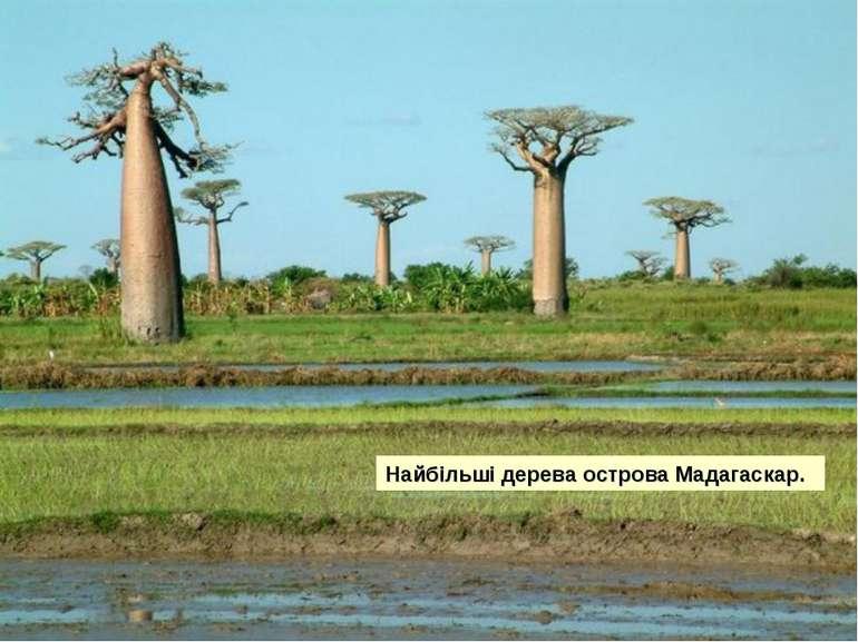 Найбільші дерева острова Мадагаскар.