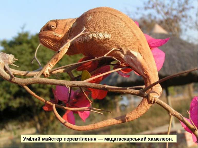 Умілий майстер перевтілення — мадагаскарський хамелеон.