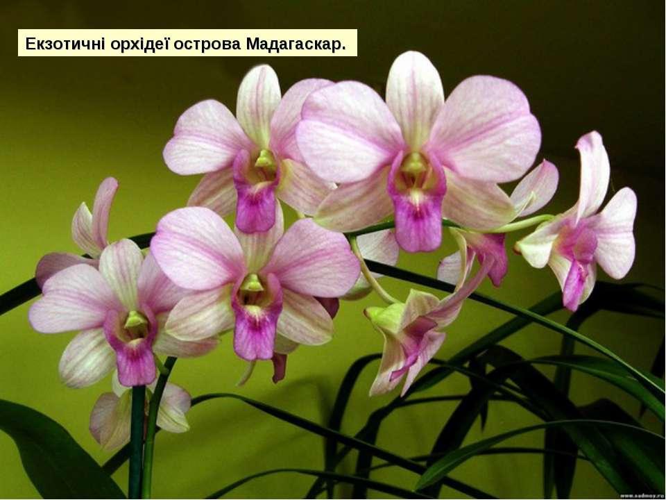 Екзотичні орхідеї острова Мадагаскар.