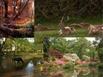 Національний парк Нью-Форест знаходиться на півдніАнглії. Більша його частин...