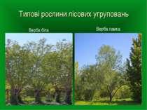 Типові рослини лісових угруповань Верба ламка Верба біла