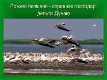 Рожеві пелікани - справжні господарі дельти Дунаю