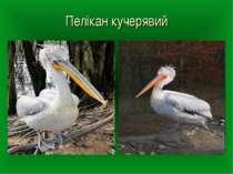 Пелікан кучерявий