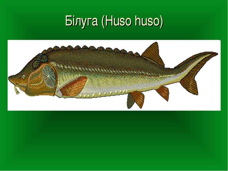 Білуга (Huso huso)