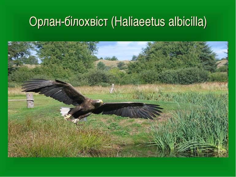 Орлан-білохвіст (Haliaeetus albicilla)