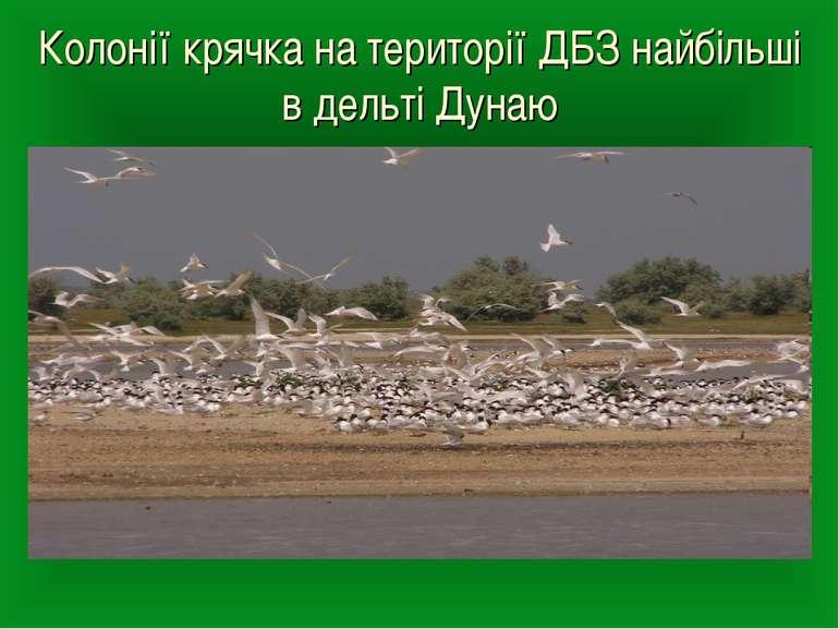 Колонії крячка на території ДБЗ найбільші в дельті Дунаю