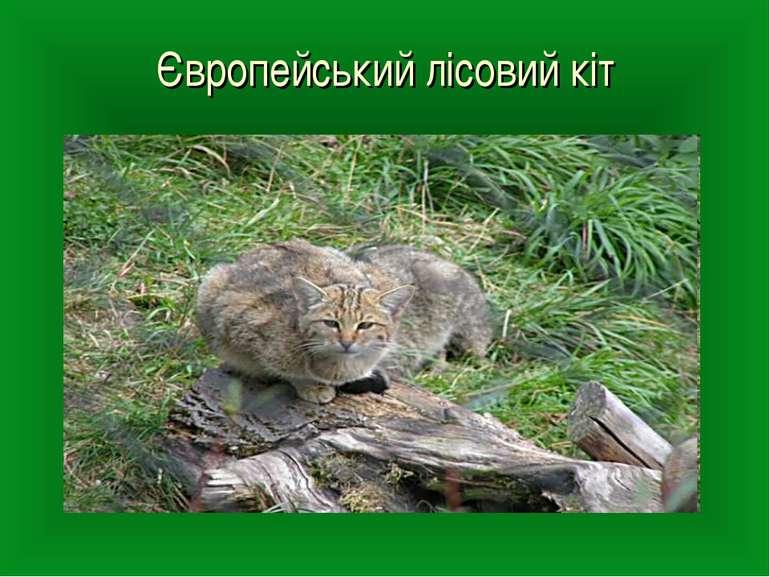 Європейський лісовий кіт