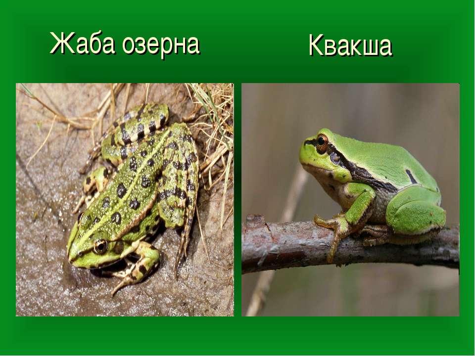 Жаба озерна Квакша