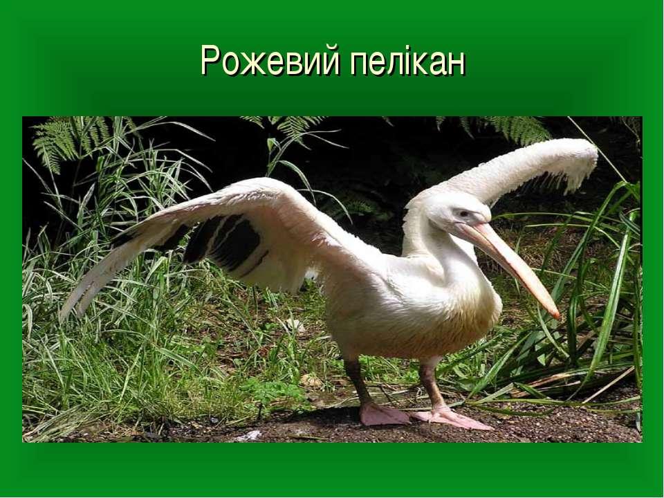 Рожевий пелікан