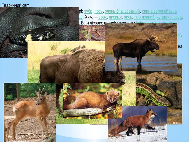 Тваринний світ У зоні мішаних лісів водяться травоїдні звірі:зубр,лось,оле...
