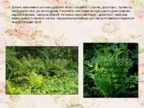 Досить звичними в сосново-дубових лісах є папороті — орляк, дріоптеріс. Урочи...