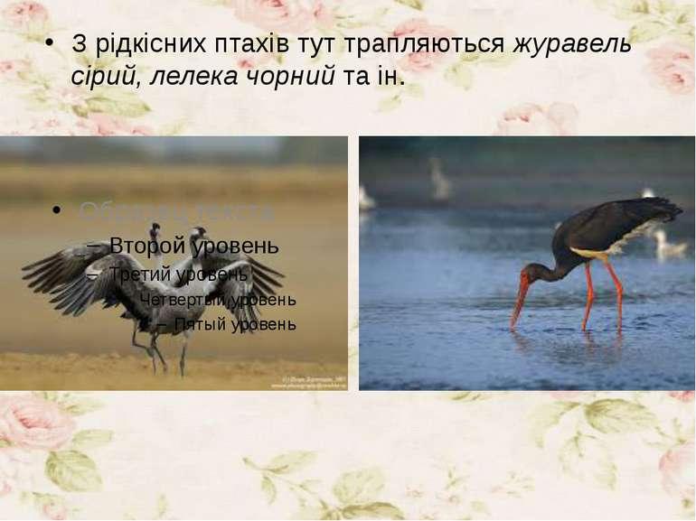 З рідкісних птахів тут трапляютьсяжуравель сірий, лелека чорнийта ін.