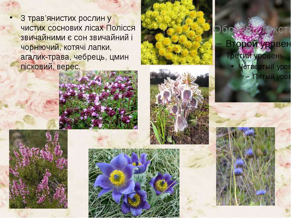 З трав'янистих рослин у чистих соснових лісах Полісся звичайними є сон звичай...