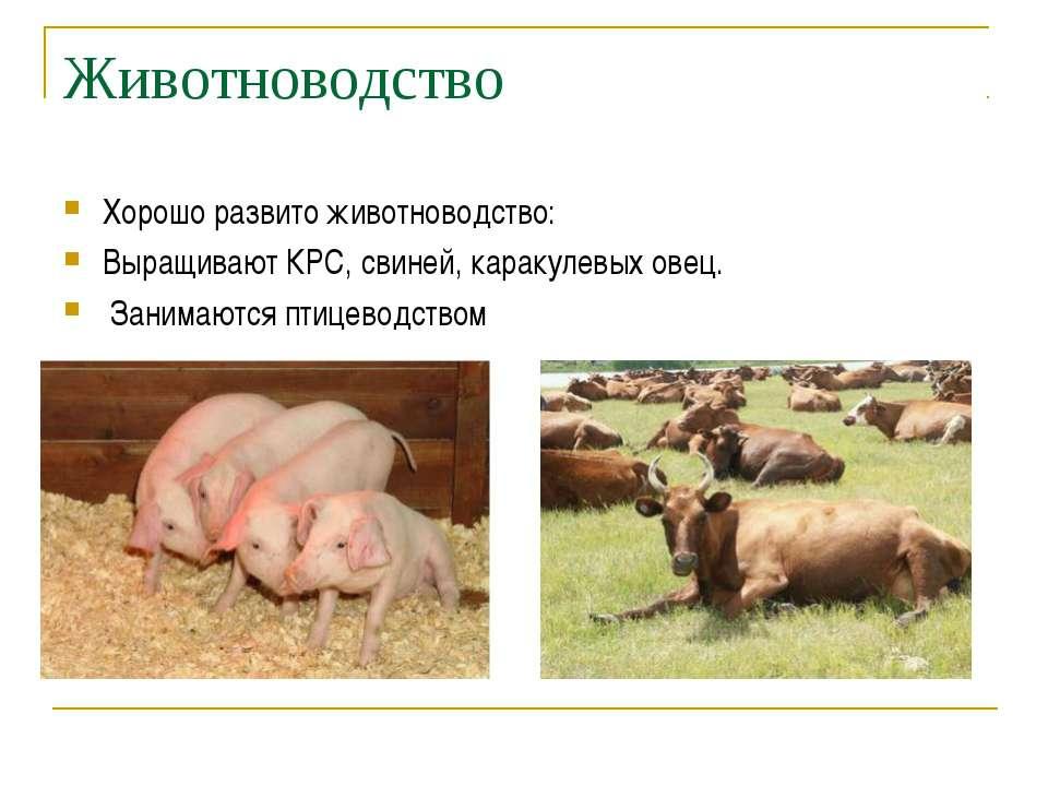 Животноводство Хорошо развито животноводство: Выращивают КРС, свиней, каракул...