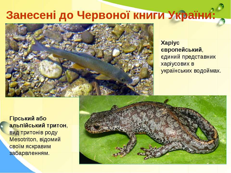 Занесені до Червоної книги України: Харіус європейський, єдиний представник х...
