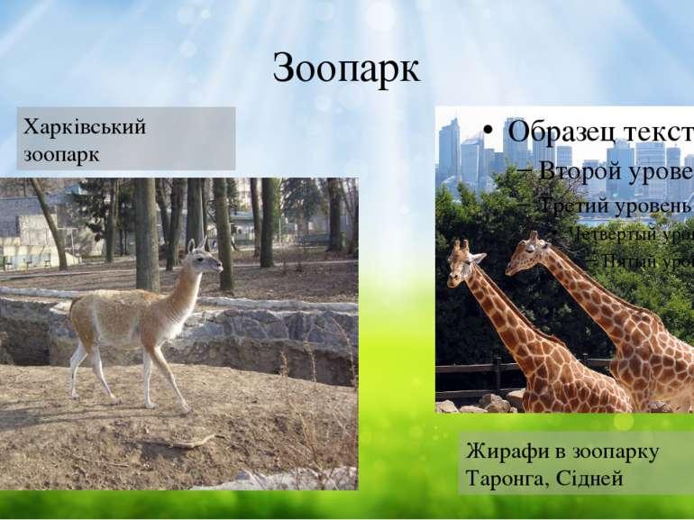 Зоопарк Харківський зоопарк Жирафи в зоопарку Таронга, Сідней