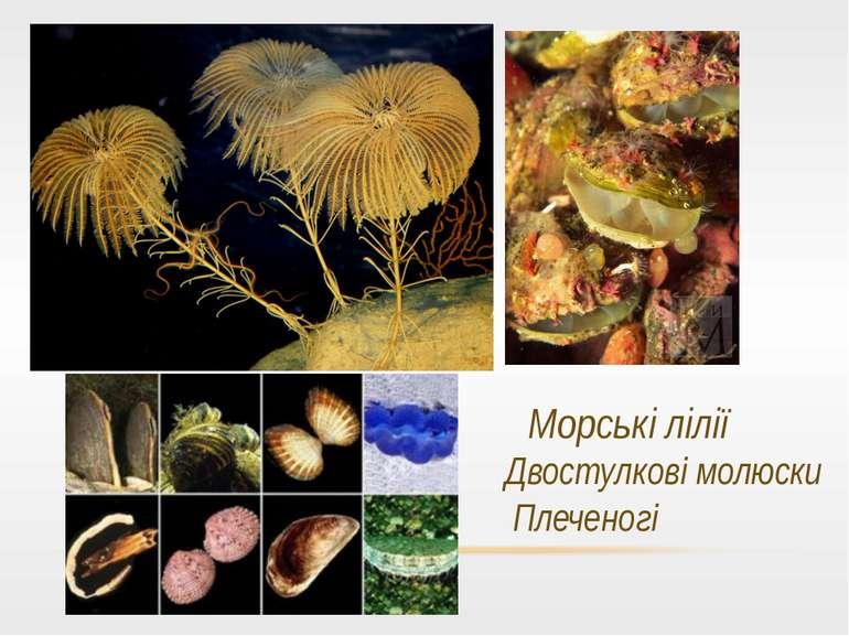 Морські лілії Двостулкові молюски Плеченогі Плеченогі