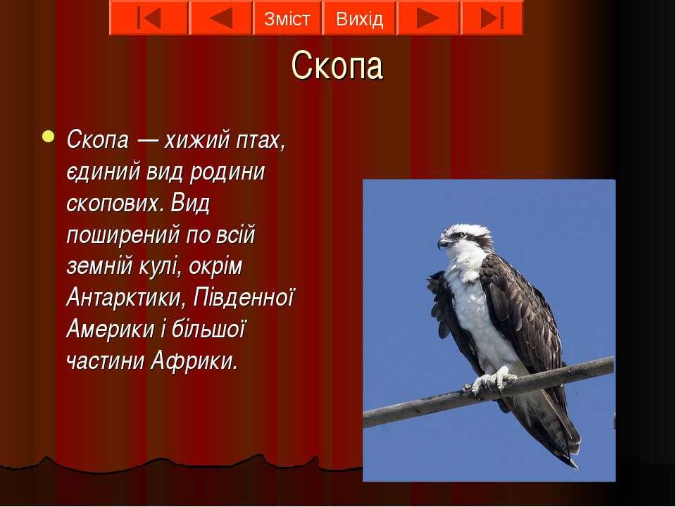 Скопа Скопа — хижий птах, єдиний вид родини скопових. Вид поширений по всій з...