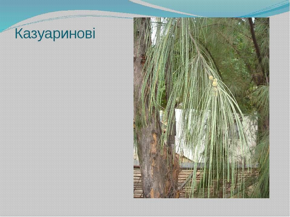 Казуаринові