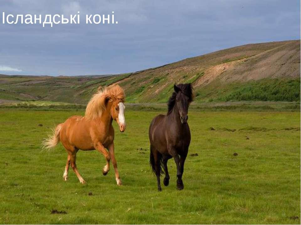 Ісландські коні.