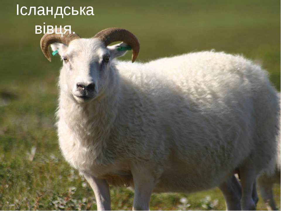 Ісландська вівця.