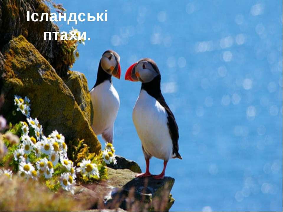 Ісландські птахи.