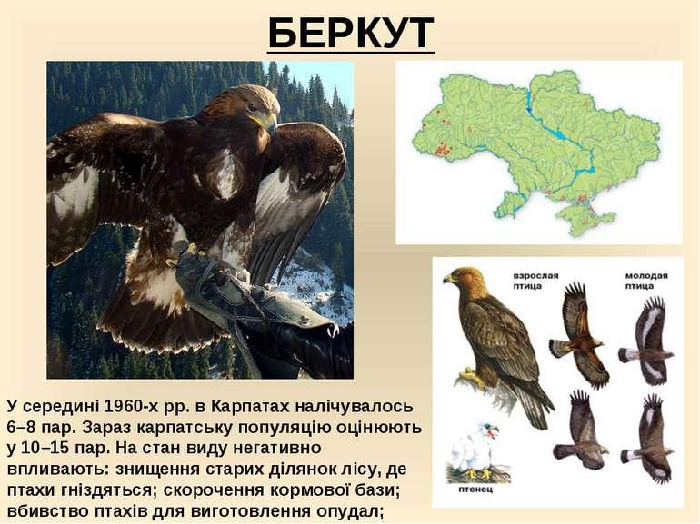 БЕРКУТ У середині 1960-х рр. в Карпатах налічувалось 6–8 пар. Зараз карпатськ...