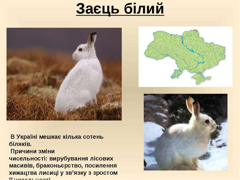 Заєць білий В Україні мешкає кілька сотень біляків. Причини зміни чисельност...
