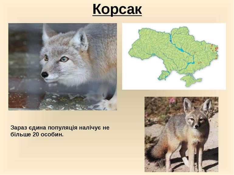 Корсак Зараз єдина популяція налічує не більше 20 особин.